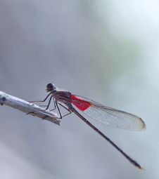 Free American Rubyspot Royalty Free Stock Images - 35056619