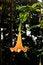 Free Datura Stramonium Flower In The Garden Royalty Free Stock Photos - 35054378