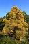 Free Single Yellow Colored Autumn Tree Royalty Free Stock Photo - 35054475