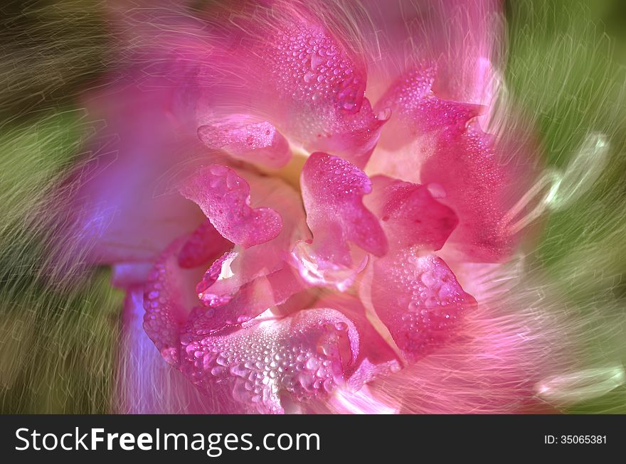 Abstract pink rose flower