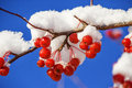Free Red Berries On A Vine Stock Images - 35079504