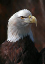 Free Eagle Royalty Free Stock Photography - 35084047