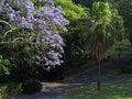 Free Jacaranda Tree In Bloom In Park Stock Photo - 35087730