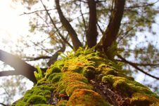 Free Live Moss On A Tree Trunk Stock Photo - 35081030