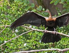 Free Anhinga Stock Photos - 35083893