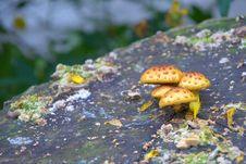 Free Mushrooms On A Stump Royalty Free Stock Photo - 35085965
