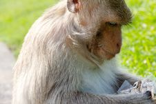 Free Portrait Of Long-tailed Macaque Royalty Free Stock Photos - 35086088