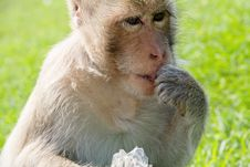 Free Portrait Of Long-tailed Macaque Stock Photos - 35086103