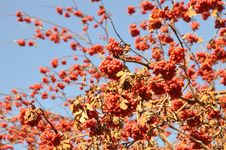 Free Rowan Berry In The Late Autumn On A Background Of Blue Sky Royalty Free Stock Image - 35086106