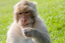 Portrait Of Long-tailed Macaque Royalty Free Stock Photography