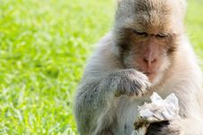 Free Long-tailed Macaque Royalty Free Stock Images - 35086119