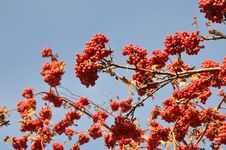 Free Rowan Berry In The Late Autumn On A Background Of Blue Sky Stock Photography - 35086122