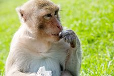 Portrait Of Long-tailed Macaque Royalty Free Stock Photos