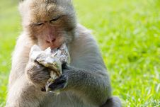 Long-tailed Macaque Royalty Free Stock Photos