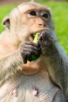 Portrait Image Of Long-tailed Macaque Royalty Free Stock Image