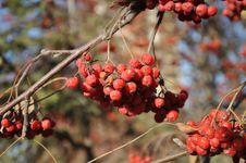 Free Rowan Berry In The Late Autumn Stock Photos - 35086193
