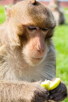 Portrait Image Of Long-tailed Macaque Stock Photography
