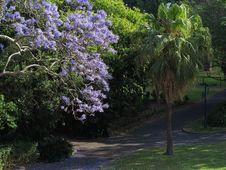 Jacaranda Tree In Bloom In Park Stock Photo