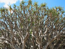 Free Dragon Blood Tree Branches Stock Images - 35087784