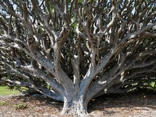 Free Dragon Blood Tree Fell Over Royalty Free Stock Photos - 35087798