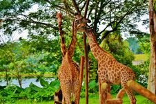 Free Giraffes Royalty Free Stock Photography - 35087947