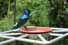 Free Superb Starling Royalty Free Stock Photography - 35088937