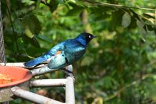 Free Superb Starling Stock Images - 35088974
