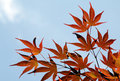Free Red Maple Leaves Stock Photography - 35090162