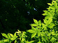 Free Green Leaves Royalty Free Stock Photography - 35090197