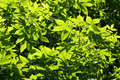 Free Green Leaves Royalty Free Stock Photography - 35090227