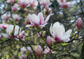 Free Magnolia Stock Photography - 35090342