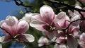 Free Magnolia Royalty Free Stock Photos - 35090368