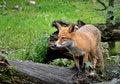 Free Fox Royalty Free Stock Image - 35091626