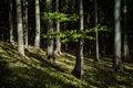 Free Autumn Beech Tree Stock Photos - 35097313