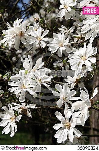 Free Magnolia Stock Images - 35090324