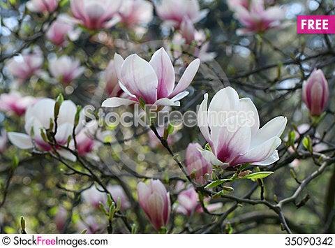 Free Magnolia Stock Photography - 35090342
