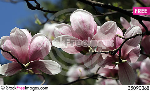 Free Magnolia Royalty Free Stock Photos - 35090368