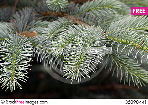 Free Twigs Of The Spruce Stock Image - 35090441