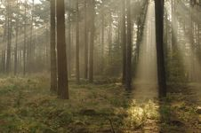 Free Morning In The Forest. Royalty Free Stock Photos - 35094498