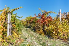Free The Vine In Autumn Royalty Free Stock Images - 35098669