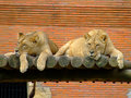 Free Two Female Lions Stock Images - 3511484