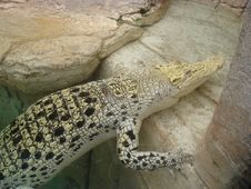 Free Albino Crocodile Stock Image - 3511451