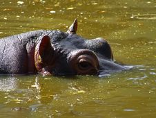 Free Hippo In The Water Royalty Free Stock Photo - 3511985