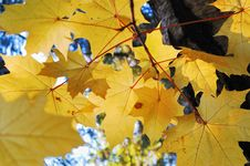 Free Yellow Leaves Of Maple Stock Photography - 3512152