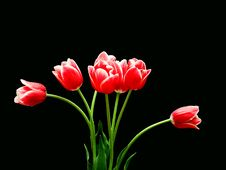 Free 7 Red Tulips Stock Photography - 3514042