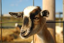 Free Young Goat Stock Images - 3514104