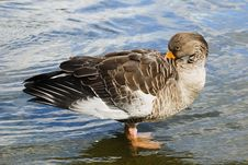 Free Duck Near The Shore Royalty Free Stock Image - 3514556
