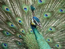 Free Peacock Royalty Free Stock Image - 3515476