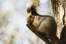 Free Squirrel 2 Stock Photography - 3515572