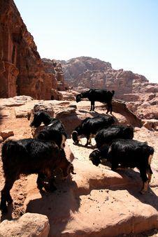 Free Goats Stock Photo - 3516800